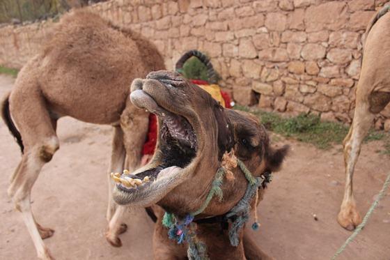 Camel 14
