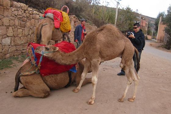 Camel 15
