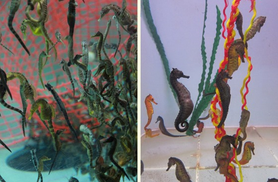 More Seahorses