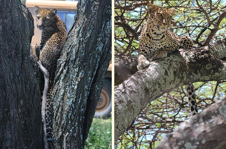 double leopard!