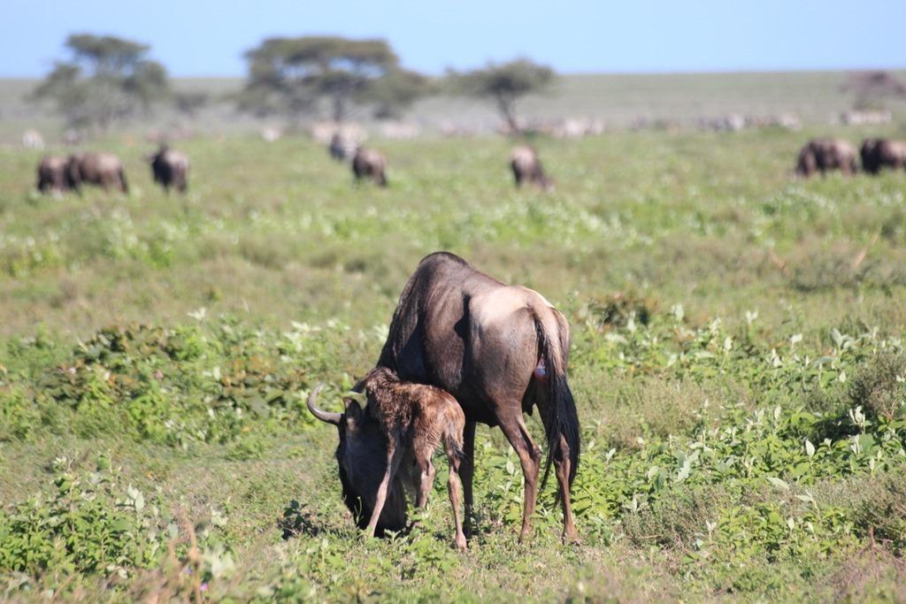 Serengeti 011