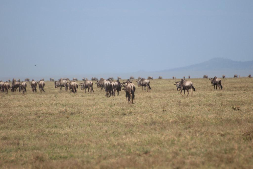 Serengeti 020