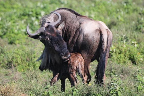 Serengeti 009